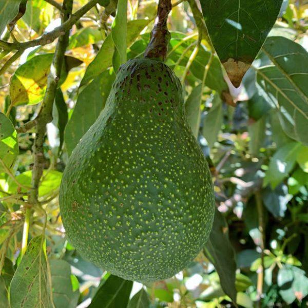 Macarthur Avocados - Rincon Tropics